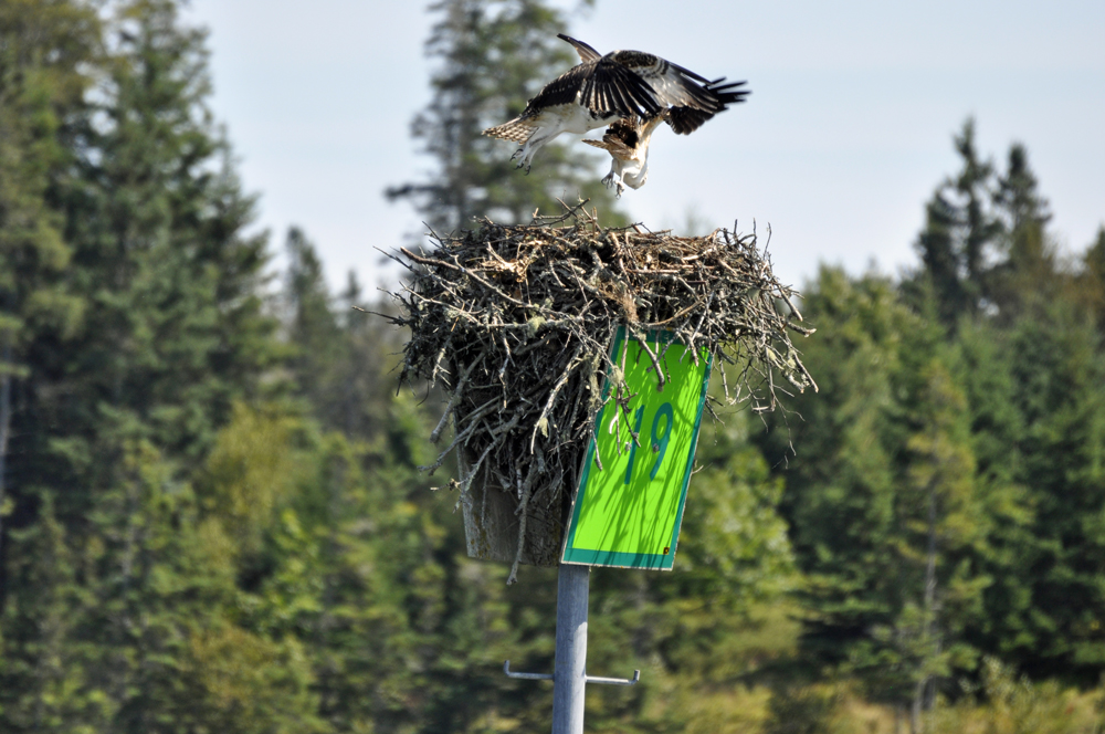 osprey, maine windjammer, maine photography, wildlife photography