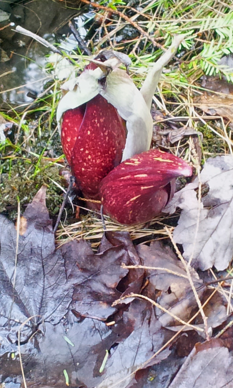 skunk cabbage emerging in spring